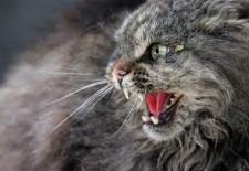 Rabid Cat Laos